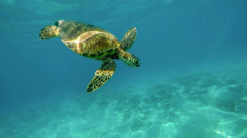 Climate change turning world's largest sea turtle populations female. (Photo: Pixabay)