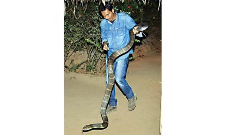 It's a three-year programme, being done in Agumbe and its surrounding areas at different locations for gathering more and diverse information on the King Cobra. The Union government has granted permission to continue this study