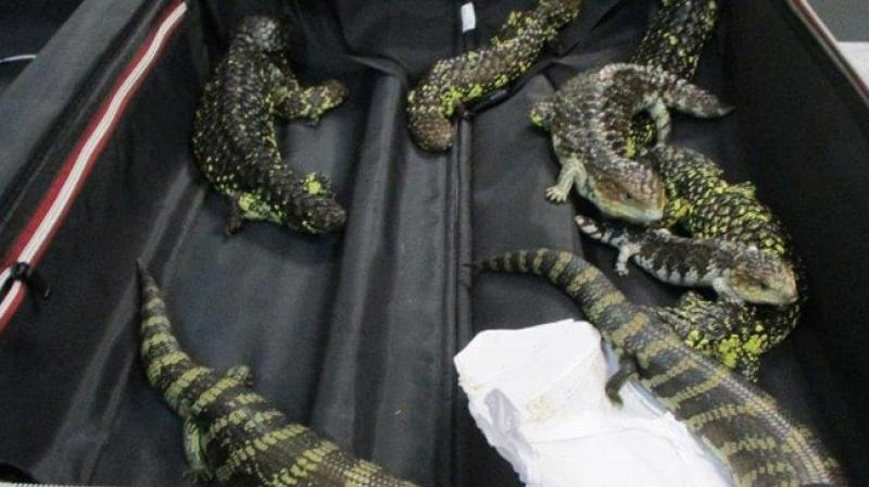 The reptiles seized include 2 Blue Tongue lizards and as many as 17 Singleback lizards. (Photo: Twitter @AusBorderForce)