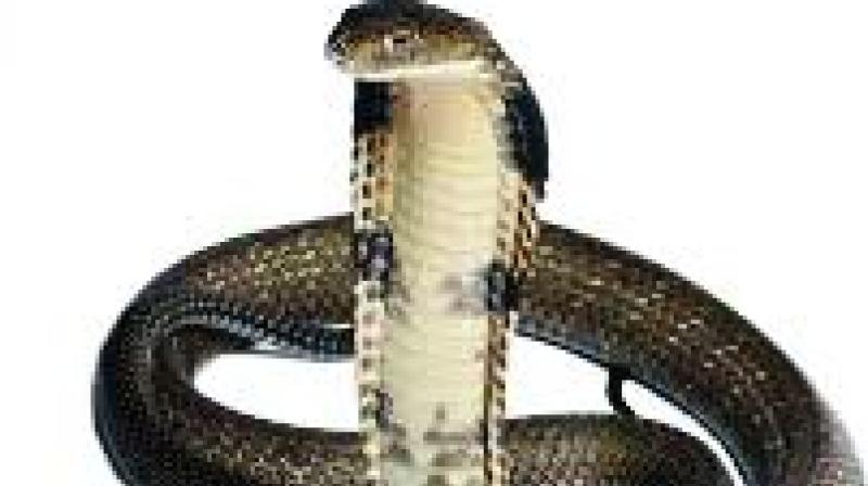 A neglected tropical disease, snakebites have caused disabilities to nearly 4 lakh people across the globe so far. Between 1.8 and 2.7 million people get bit every year, and management in the first three hours after the bite has been found to be of prime significance in damage control.