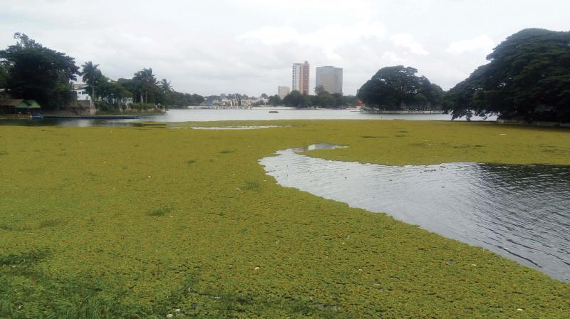 Algae and garbage debris floating on Ulsoor lake	(Photo: R. Samuel)