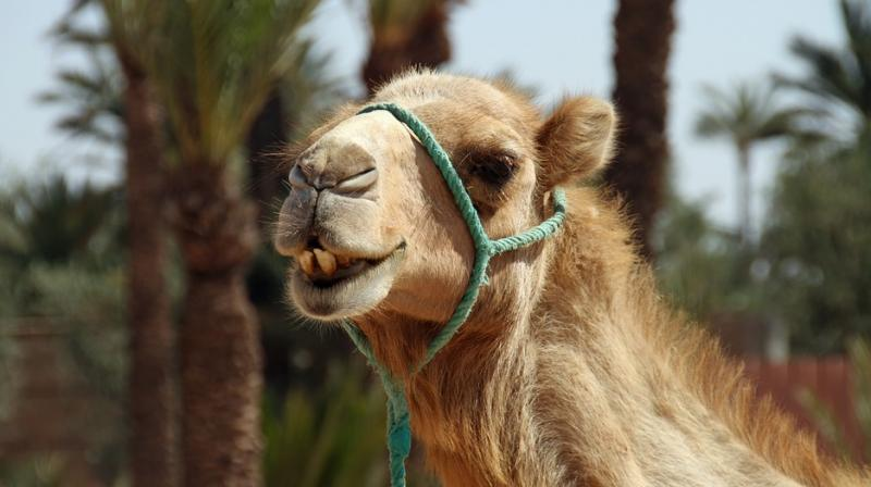 Camel herders have long known that the urine of camels infected with trypanosomes has a pungent odour, and is reddish brown in colour. (Photo: Pixabay)