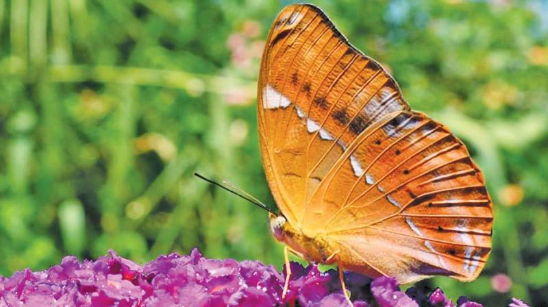 With the Tamil Nadu government recently declaring the Tamil Yeoman, a butterfly species endemic to the Western Ghats as Tamil Nadu's state butterfly, the focus on butterfly conservation is beginning to catch up.