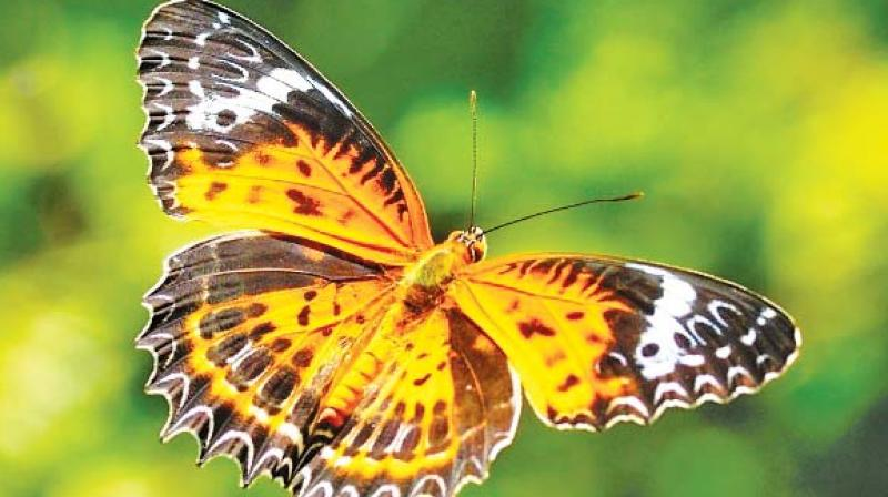 Tamil Lacewing