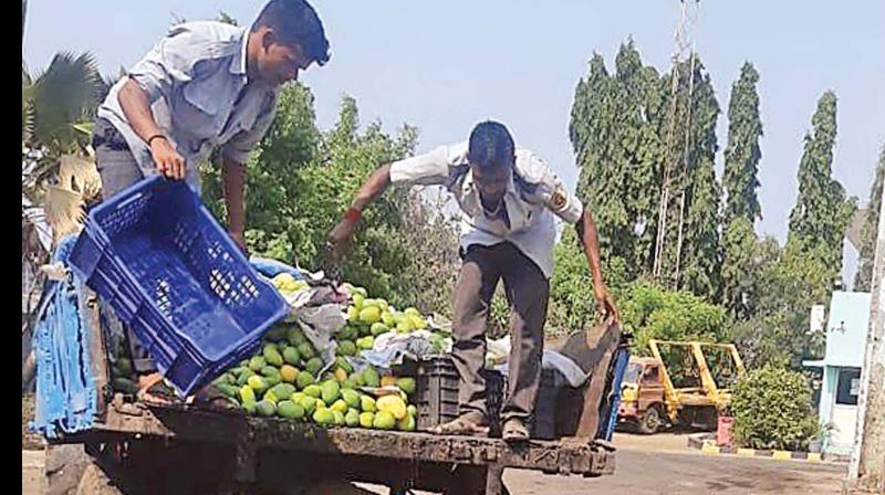 Artificially ripened mangoes dumped after FSSAI raids in the city. (Photo - DC)