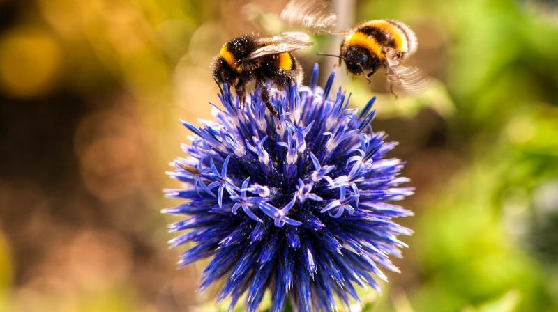 Spying on bees reveals pesticides impair social behaviour. (Photo: Pixabay)