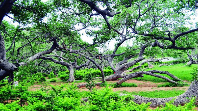 The 1200 AD Pillalamarri tree in a bad shape.