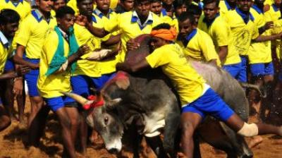 At the world famous Jallikattu in Alanganallur near Madurai, at least 25 people were injured on Tuesday. (Photo: File/AFP)