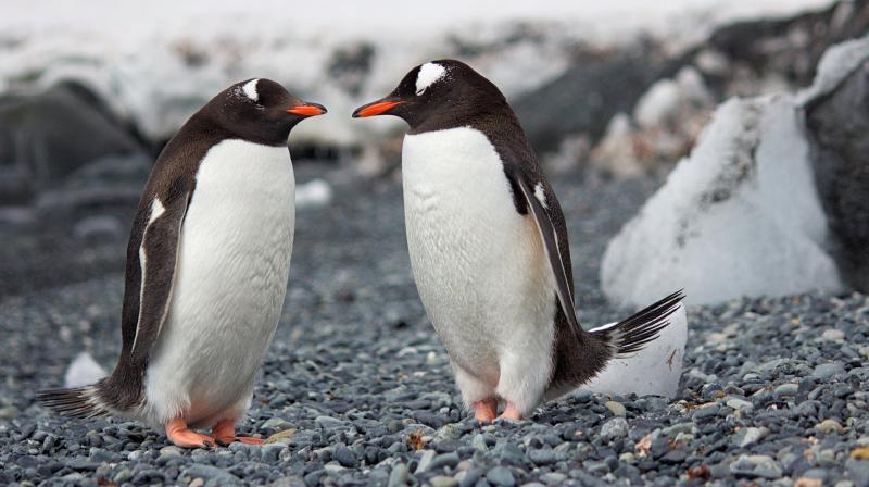 Same-sex penguin couple incubate egg at Sydney aquarium. (Photo: Pixabay)