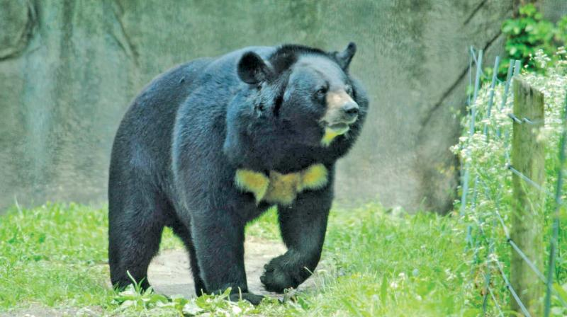 The bruin smashed a window and left only smeared icing and a paw print behind. (Photo: File)