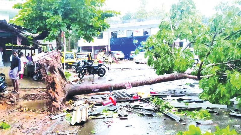A tree uprooted in the strong winds in Piravom. (DC)