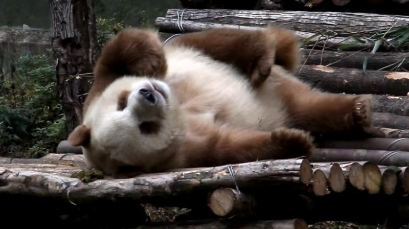 As a young one Qizai wasn't accepted by other pandas (Photo: YouTube)