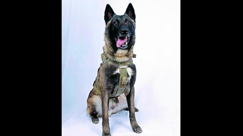 The Telangana state police also boast of having the Belgian Malinois in their staff.