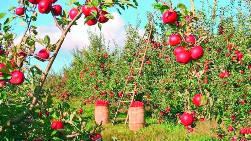 Russia imports apple trees, instead of fruit