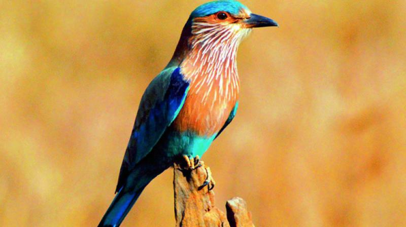 Palapitta is now the state bird of Telangana, Odisha and Karnataka.