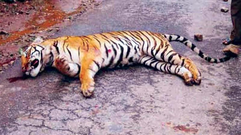 A file photo of a young tiger which was run over by a speeding vehicle inside Bandipur Tiger Reserve.