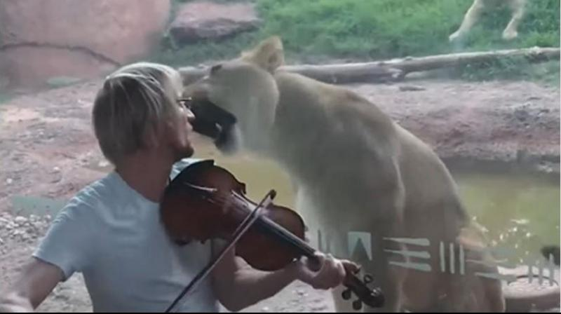 The video shows the lioness attempting several times to attack the violinist but the glass partition saved them. (Photo: video screengrab)