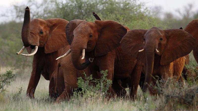 Cancer, which occurs when cells multiply uncontrollably, affects around one in 20 elephants, compared to up to one in two humans. (Photo: AP)