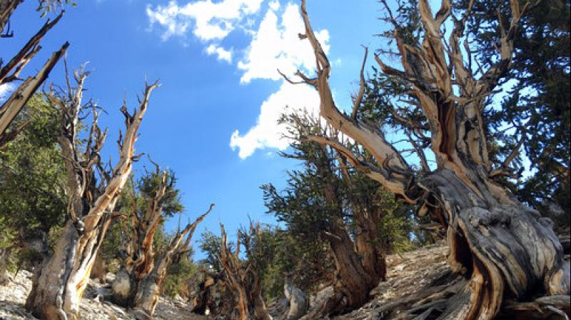 This July 11, 2017, photo shows gnarled, bristlecone pine trees in the White Mountains in east of Bishop, California. (Photo: AP)