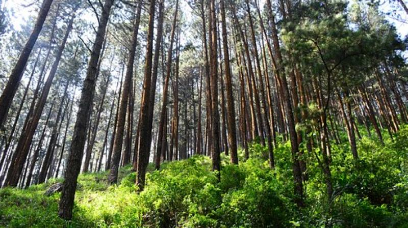 As voices are growing alien and exotic tree species in the hills, it appears that the forest department in Nilgiris has taken the right steps in marching towards the native tree culture to nurture this habitat to make Nilgiris to become the heaven of native trees in future.