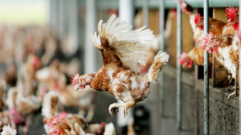 Currently, poultry products are not routinely tested for the kind of E coli strains that can cause UTIs (Photo: AFP)