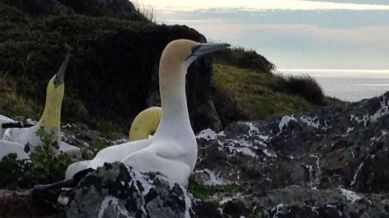 Gannets are extremely social birds and they make their decisions on where to live based on that (Photo: AFP)
