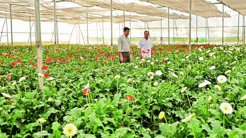 More Farmers In Telangana Turn To Exotic Crop Cultivation