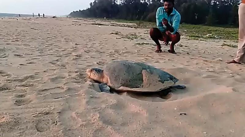 An olive ridley turtle makes arrangements to lay eggs on the shore of Kasargod.
