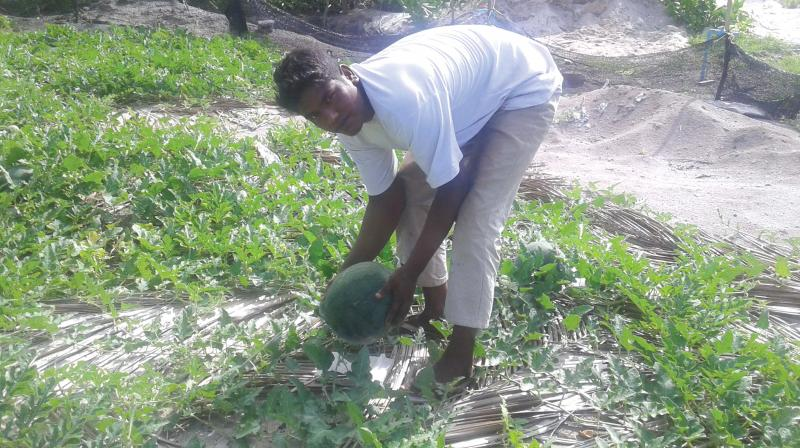 A worker harvesting seedless watermelons on Vattaru Island of the Maldives.