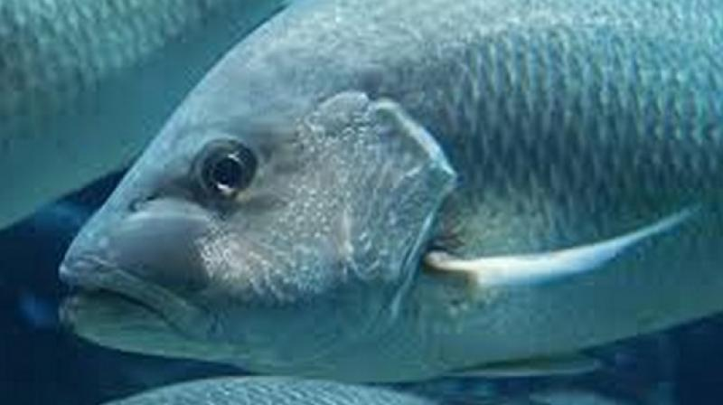 Regardless of which specific pollutants may be responsible for stopping silver carp if that hypothesis is later proven the results could have interesting implications for management. (Photo: ANI)