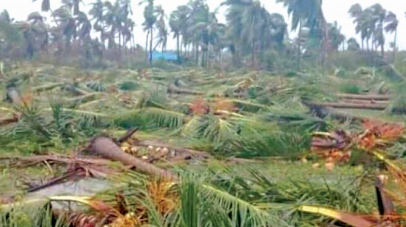 It was an unprecedented devastation and 40 lakh coconut trees were uprooted in the cyclone that hit the areas on November 15 and 16.