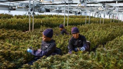 Women workers pick up leaves from cannabis plants inside a greenhouse of Medigrow, a Lesotho- Canadian company that grows legal cannabis, located near Marakabei, Lesotho. In 2017, the tiny landlocked kingdom of 2.1 million people decided to tap into the booming medical marijuana industry, becoming the first counrty in Africa to allow the cultivation of cannabis for medicinal purposes. (Photo: AFP)