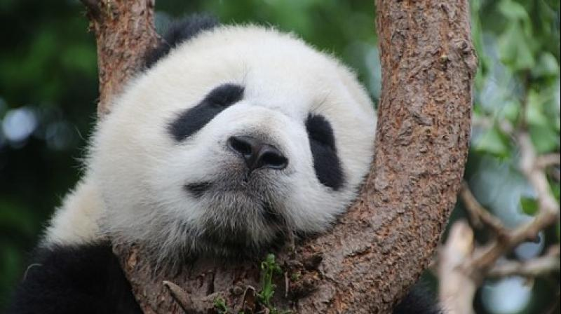 Pandas have a notoriously low reproductive rate and are under pressure from factors such as habitat loss. (Photo: Pixabay)