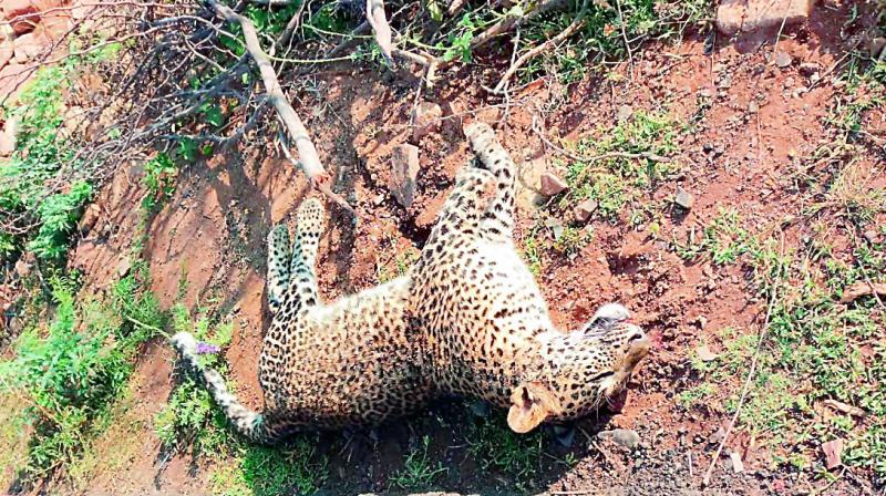 A leopard found dead on a road at the Racharla Ghat section near Garladinne village on Sunday. This is the second incident of a leopard's death in three days.