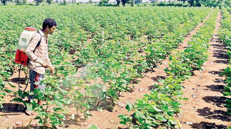 In this file photo a farmer sprays pesticide on his cotton crop in Adilabad mandal.
