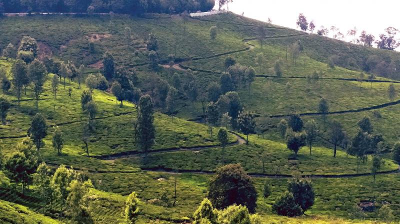The tea grower said he would be earning Rs 5 lakh annually from the six hectares of tea plantation between the fencing and the zero line. (Photo: Representational)