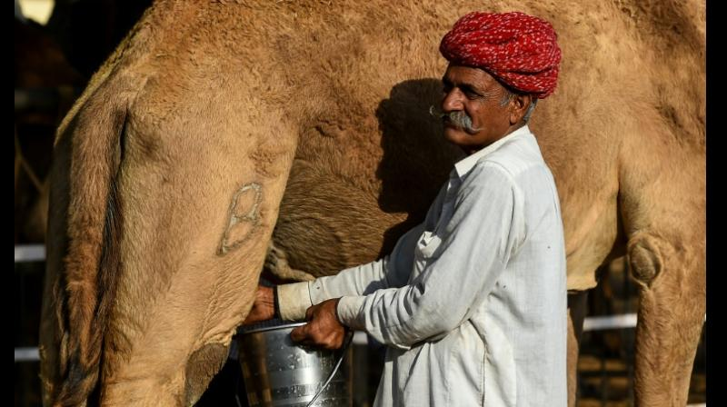 Camel milk is considered to be the latest superfood by supermarkets in the US and the UK, as well as online retailers such as Amazon, also tapping into growing consumer interest. (Photo: AFP)