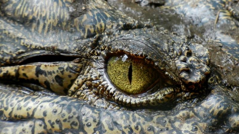 Officials say that the crocodile might have entered the building society via a storm water drain nearby. (Photo: Pixabay)
