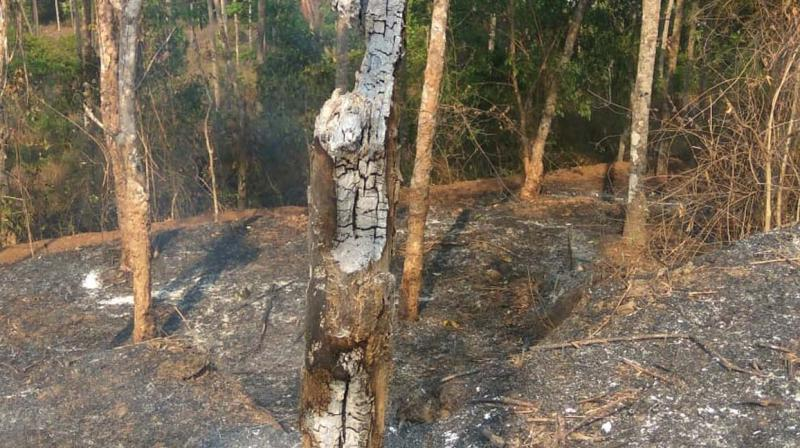 A tree burnt in fire  at Maavullathil Meethal Panayullathil Paremmal at Mangalad in Ayancheri.