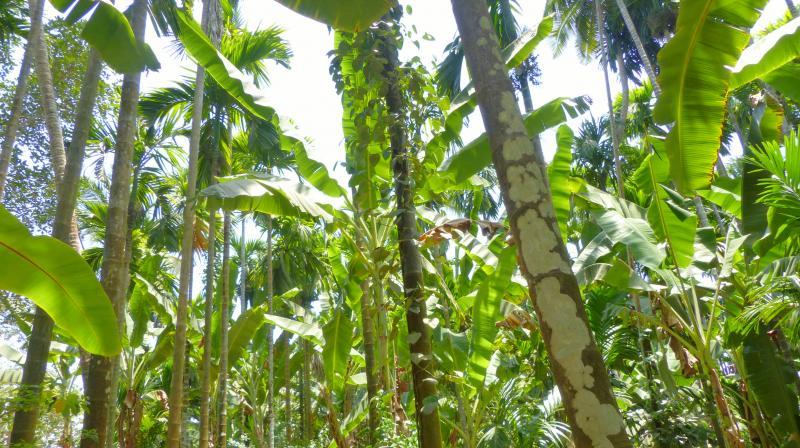 Sahakari Spice Farm in Goa. (All Photos: Darielle Britto)