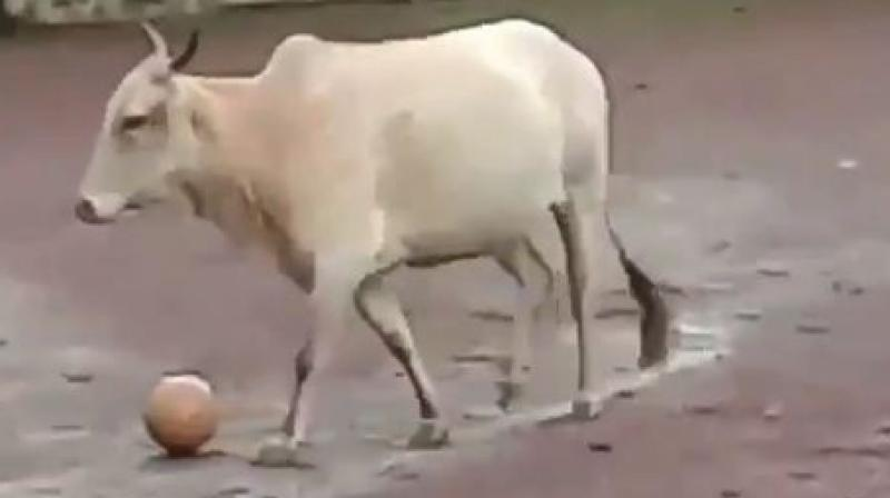 The video of the cow has left twitterverse in splits, with some even calling it a reincarnation of a football legend in the likes of Lionel Messi or Cristiano Ronaldo! (Photo: Screengrab)