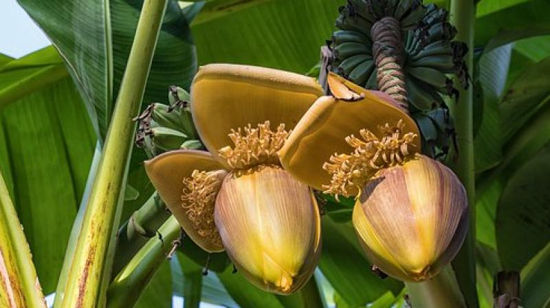 Predicting the potential impacts of climate change on banana production systems is crucial to ensuring its long-term survival, according to researchers. (Photo: Representational/Pixabay)