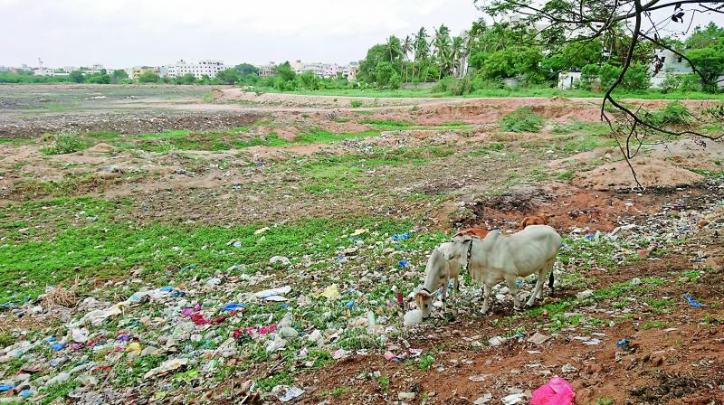 The once pristine Nalla Cheruvu in Uppal, which used to be spread over 100 acres, is under constant threat of encroachment after being dewatered. Moreover, the lakebed, which is often grazed by cattles, is filled with plastic putting them at risk. (Photo: DC)