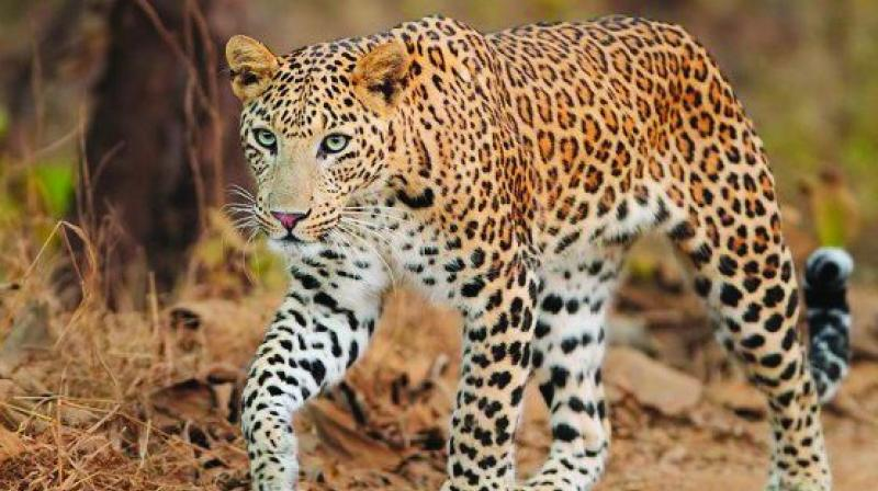 "Wildlife conservation organisation WPSI stated, ""A dramatic rise (40 per cent) in the number of leopard deaths in India has been noted in just the first four months of 2019. A majority of these incidents have been registered in Uttarakhand, Maharashtra, Rajasthan, Madhya Pradesh, and Karnataka."" No significant deaths were reported in Telangana state and Andhra Pradesh."