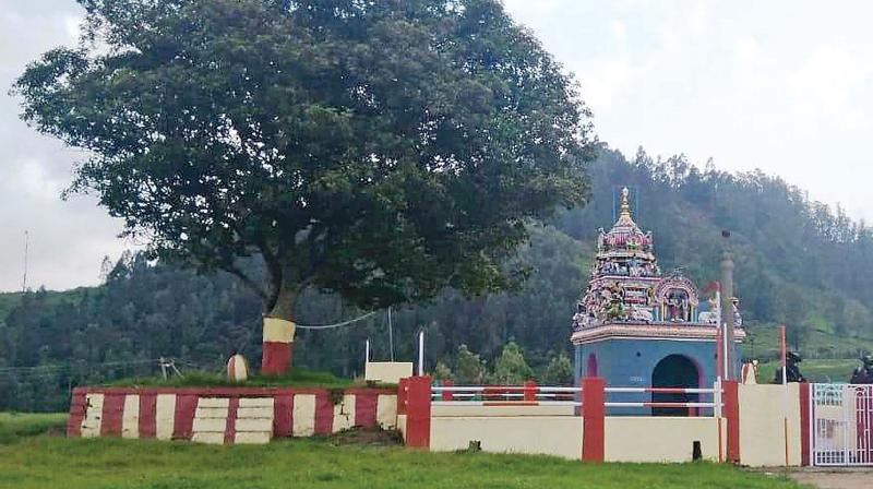 "The Elaeocarpus tree (""Vikki maram"" in Tamil), is considered as a sacred tree in Nilgiris.(Photo: DC)"