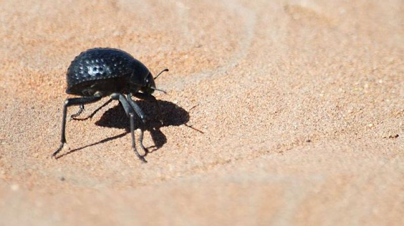 Namib Desert beetles use the irregular surface morphology - uneven bumps and flat areas, on their backs to gather fresh water from desert fog (Photo: Creative commons)