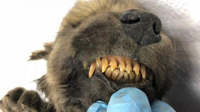 With his nose, fur and teeth totally intact, researchers in a baffling discovery have found a near-perfectly preserved puppy, which is 18,000 years old! (Photo: ANI)