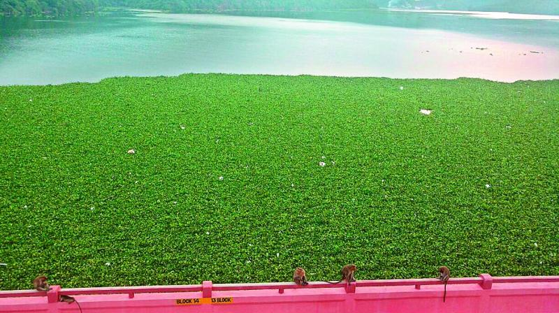 The vast stretch of green carpet on the backwaters of Srisailam was never seen earlier.