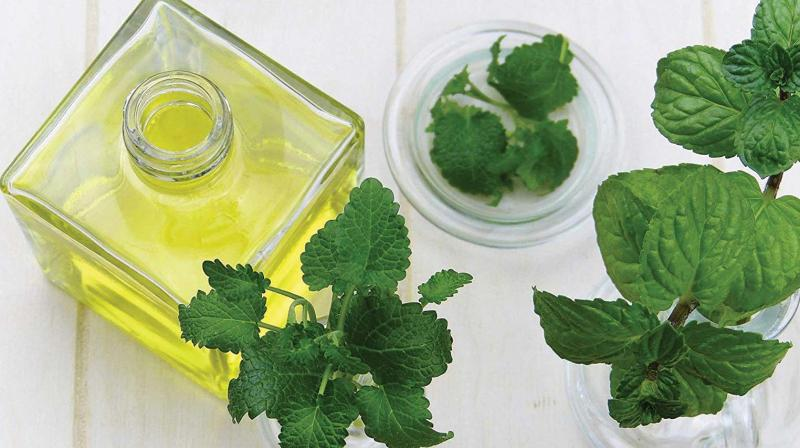 The tea tree oil is derived by crushing the leaves of the plant to extract the oil.