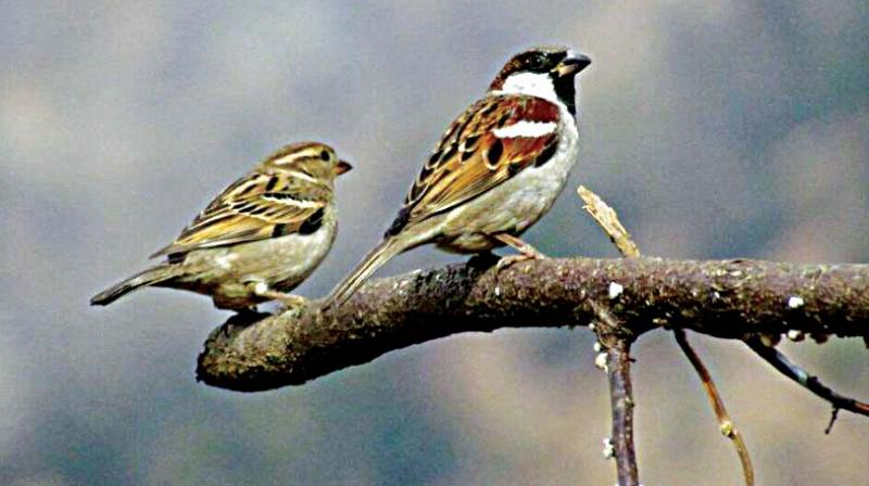Their constant chirping is a reminder of the beauty of nature around us. Now only found in a few spaces around Bengaluru, such as the Kempegowda International Airport, the common sparrow has more or less disappeared from the landscape of Namma City.